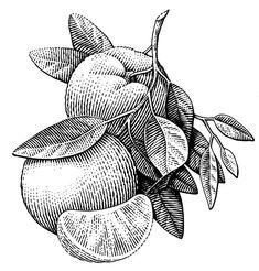 Engraving Illustration, Botanical Illustration, Engraving Art, Gravure Illustration, Illustration Art, Drawing Sketches, Ink Drawings, Cross Hatching, Scratchboard