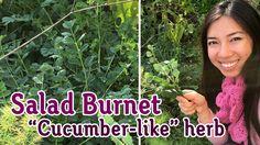 Salad Burnet Tastes Like Cucumber!