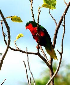Lori de Stephen - Vini stepheni --  Descripción: De 19 cm. de longitud y un peso entre 42 y 55 gramos.El plumaje del Lori de Stephen (Vini stepheni), en general es de color verde.La parte superior de la cabeza es de color verde claro. La región de las ventanas  ...