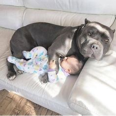Chien mignon Chien dog Cute Dog Beautiful dog Pretty dog Cool dog Cute dog pictures Cute dog Video Satisfying Satisfaisant Kawai dog Doggydog Cute dogs Cute dogs in the world Cute dog breeds Cute dogs small Cute dogs pics Cute dogs ever Puppies Puppy Pitbull Terrier, Cute Funny Animals, Cute Baby Animals, Funny Babies, Cute Babies, Funny Pets, Cute Puppies, Cute Dogs, Cute Pitbulls