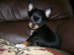Chihuahua Puppy!