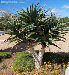 Aloe Rex (Dichatoma x Barbarae)