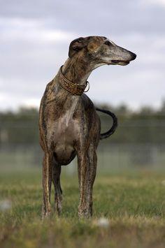Standing brindle Greyhound dog profile