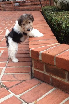 Ollie, my wire haired fox terrier #dog