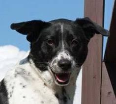 Mason is an adoptable Australian Cattle Dog / Blue Heeler searching for a forever family near Ledgewood, NJ. Use Petfinder to find adoptable pets in your area. Pocket Pitbull, Border Collie Mix, Australian Cattle Dog, Dog Breeds, Pitbulls, Collie Dog, Pets, March, Animals