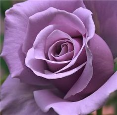 Sterling Rose, one of the most beautiful colors of roses.