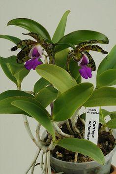 Cattleya aclandiae 2 par Michel | Cattlaelia Forum Orchidée | Flickr