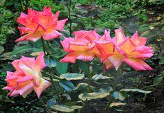 Цветущие в саду розы . (Россия, Стародуб)