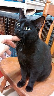 Trevose, PA - Domestic Shorthair. Meet Mink, a cat for adoption. http://www.adoptapet.com/pet/14650266-trevose-pennsylvania-cat