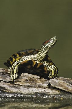 Red-eared Slider (Trachemys scripta elegans) turtle sunning on log, Starr County, Rio Grande Valley, Texas, USA
