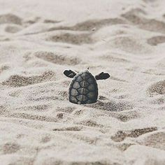 Cute baby turtles, cute baby animals, animals sea, animals and pets, funny Cute Creatures, Sea Creatures, Beautiful Creatures, Animals Beautiful, Baby Sea Turtles, Cute Turtles, Cute Baby Animals, Animals And Pets, Funny Animals