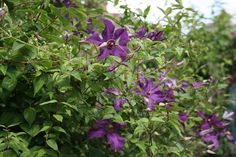 #Clematis Polish Spirit covering Philadelphus. I've said this before but trellis is not the way to show off Clematis. #plants #gardening  #flowers #organic