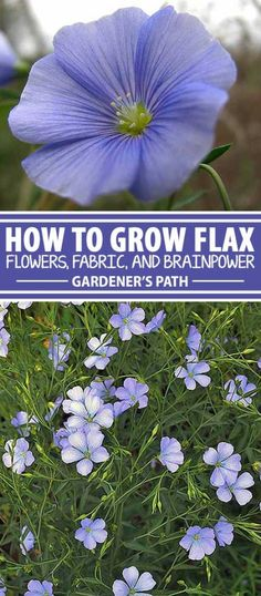 Whether you want to weave your own linen fabric, boost your intake of healthful omega acids and other nutrients, preserve your butcher block countertops, or just enjoy attractive flowers, consider adding multipurpose flax — either the annual or perennial type — to your landscape. Learn more at Gardener's Path.