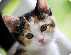 Calico Cat Names, Distinctive Names for Calico Kittens I Love Cats, Crazy Cats, Cool Cats, Beautiful Cats, Animals Beautiful, Kittens Cutest, Cats And Kittens, Gato Calico, Calico Cats