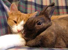 Katten Mimi og kaninerne Cocotte og Noisette har et tæt venskab. Kaniner og katte kan sagtens lære at bo sammen.   Kaniner er sociale dyr. Læs mere på www.kaninhaandbogen.dk  #huskaniner #kaniner #kanin