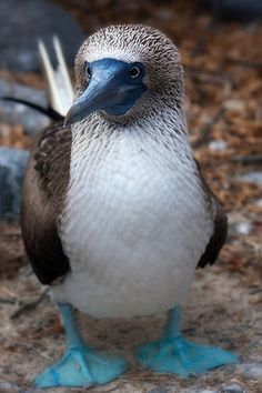 Blue-footed Booby - From the Galapagos Islands~ Many boobies living in other places, too.