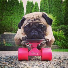 Skateboarding pug