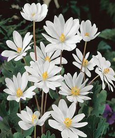 Link to perennials that are good for a woodland garden
