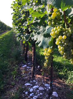 Just a few days to start 🤗 #Fantinel #harvest2017 #staytuned  #grapes #vineyard #estate #sun #nature #landscape #italy #friuli #fvg #wine