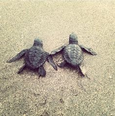 Two baby sea turtles