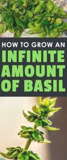Learn everything you need to know about how to grow basil, including planting, c...#basil #grow #including #learn #planting Growing Basil, Rose Plant Care, Garden Types, Plant Care, Growing, Storing Basil, Types Of Herbs, Plants, Organic Gardening