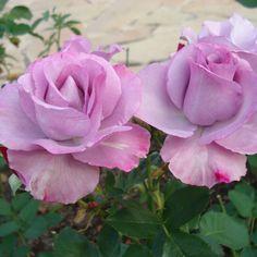 Dioressence - The Fragrant Rose Company