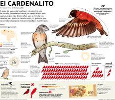 El cardenalito