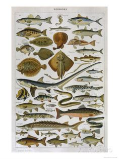 An Assortment of Fish Giclee Print - AllPosters.co.uk