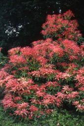 Pieris Forest Flame Garden Shrubs, Garden Plants, Pieris Japonica, Landscape Elements, Palmiers, Livestock, Farm Life, Farm Animals, Beautiful Flowers