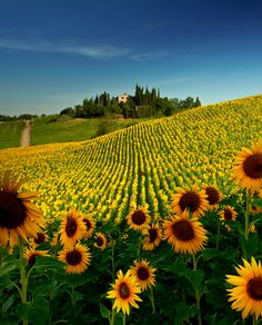 Sunflower Field, San Gimignano, Italy,     ♥ ♥  www.paintingyouwithwords.com
