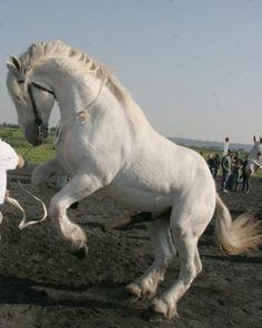 Boulonnais Horse | Boulonnais 1 - horse Breeds | ცხენის ჯიშები ...