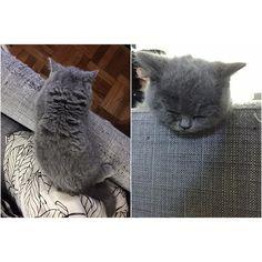 마리야 뭐해? 하고 봤더니 자고있네.  #vscocam #britishshothair #cat #cats #catsofinstagram #catstagram #pet #ilovemycat #instacats #catlover #mari #catoftheday #lovecats #petstagram #petsofinstagram #pets_of_instagram #고양이 #반려묘 #냥스타그램 #캣스타그램 #브리티쉬숏헤어 #인스타캣 #마리