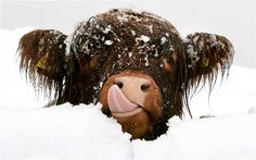 Pink Nose and Pink Tongue! Scottish highland cow licking snow off its face Tooooo Cute!