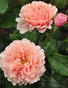 Twiggy's Rose: English Shrub