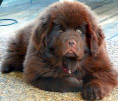 If I get another dog, it will be one of these brown Newfies, and I will name it something that invokes the image of a giant brown bear.