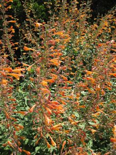 Rotary Botanical Gardens - Hort Blog: An Agastache For Everyone
