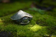 Brazilian Turtle