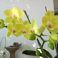 Bright yellow orchids.