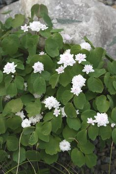 Zone 4: Rue Anemone for sale buy Anemonella thalictroides 'Cameo'