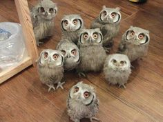 67 Best Ideas For Baby Animals Funny Kawaii Cute Funny Animals, Cute Baby Animals, Animals And Pets, Beautiful Owl, Animals Beautiful, Owl Bird, Pet Birds, Owl Pictures, Tier Fotos