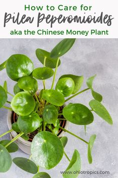 How to Care for Your Pilea Peperomioides or Chinese Money Plant! Secrets of Pilea Peperomioides or C Money Tree Plant Care, House Plant Care, Water Plants, Garden Plants, Indoor Plants, Snake Plant Care, Household Plants, Chinese Money Plant, Inside Plants