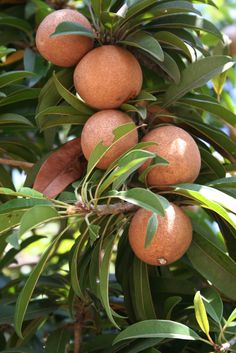 Mammee Apple (a.k.a. Mamey, or Saint Domingo Apricot). Mammea americana is the variety shown here. (Mammea africana is the other kind.) #exotic #fruit