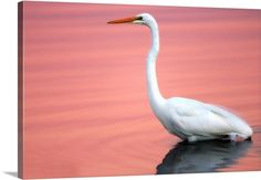 Portrait of a great egret wading in sunset-lit waters