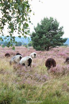 seidenfeins Dekoblog: Mein Collie liebt Schafe, ein chaotischer Ausflug in die Heide * my dog kissed a sheep, and it loves him