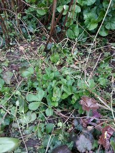 Wild Strawberry Plants Poisonous