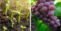 Deja de comprar Uvas. Acá te explicamos como cultivarlas en tu casa
