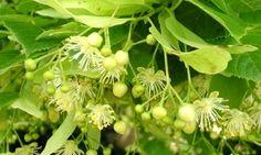 Souverain pour apaiser le corps et l'esprit, le tilleul était autrefois récolté collectivement dans les villages, dans les couvents et les monastères. Cet arbre à feuilles caduques haut de 12 à 15 m pousse naturellement dans les forêts européennes. Ses fleurs jaune pâle épanouies en fin de…
