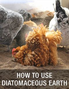 How To Use Diatomaceous Earth for your backyard chickens: http://www.mychickencoop.net/use-diatomaceous-earth/