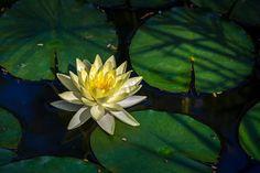 2013-12 Water Lily Hacienda Xcanatun Merida Yucatan. #toptravelspot #merida #yucatan #mexico #waterlily #xcanatun #photography #travel  #travelling #instatraveling
