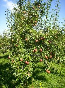 How to Choose a Pear Tree for Planting